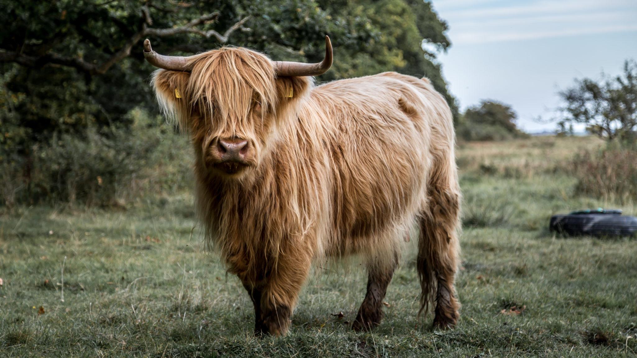 køb kød online københavn, højlandskvæg med store horn