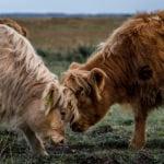 køb kød online københavn, to køer slås
